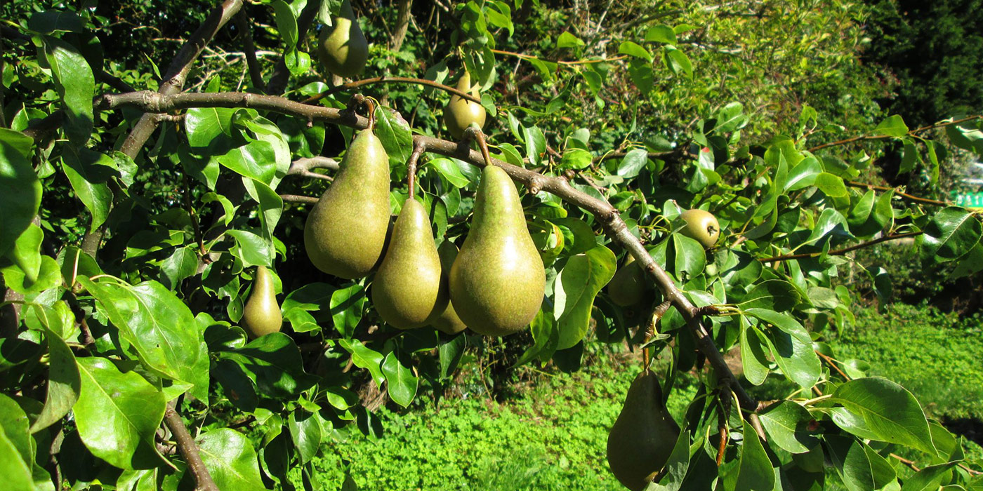 Orchard pears